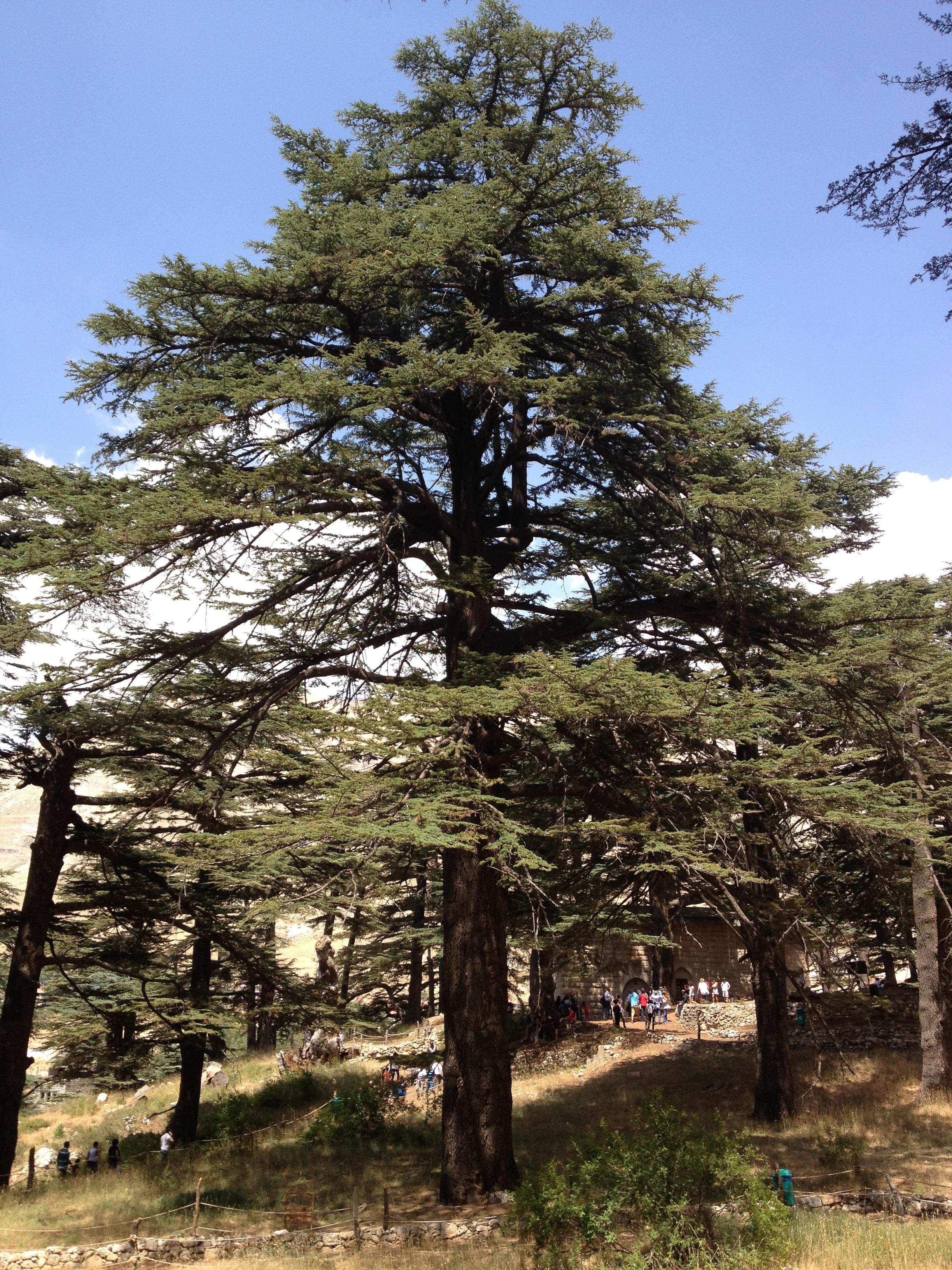 Shouf Lebanon  city images : the lebanese cedar tree or cedrus libani grows in lebanon palestine ...